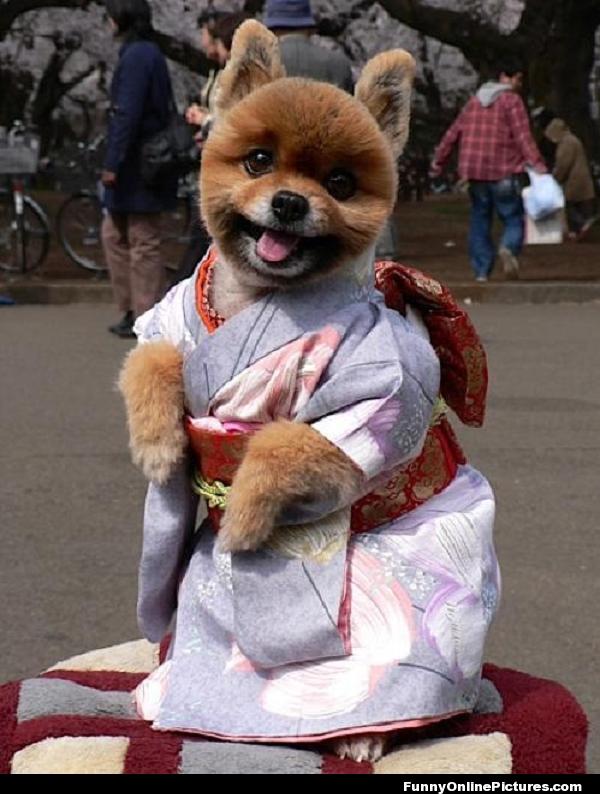 Pomeranian Geisha